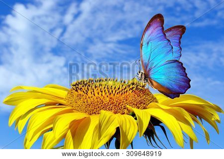 Bright Blue Butterfly Morpho And Sunflower Against A Blue Sky. Butterfly On A Flower. Flying Butterf