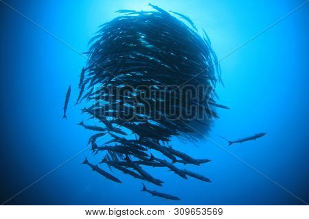 School of Chevron Barracuda fish