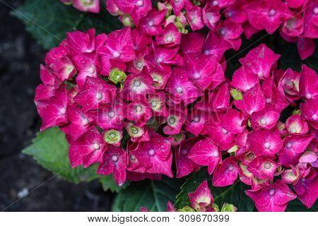Mopheads Hydrangea (hydrangea Macrophylla) Blooming, Common Names Include Common Names Include Bigle