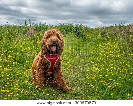 Cockapoo Puppy In A Field Of Wild Flowers