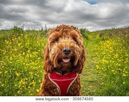Cockapoo Puppy In A Field