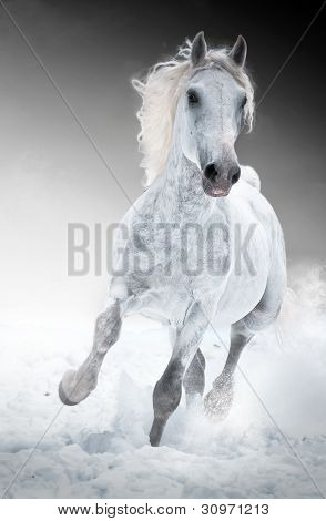 White horse runs gallop in winter