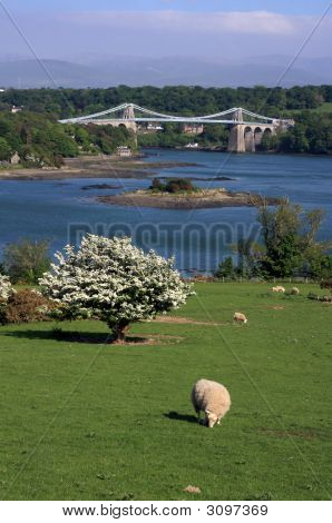 Menai Bridge in spring with hawthorn blossoming poster