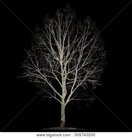 Poplar (populus L.) Without Foliage, In The Winter, The Color Vector Image On A Black Background