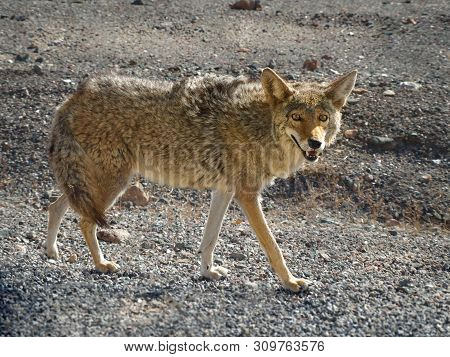 Lone Coyote (canis Latrans) Hunting In The Death Valley  National Park, Usa.