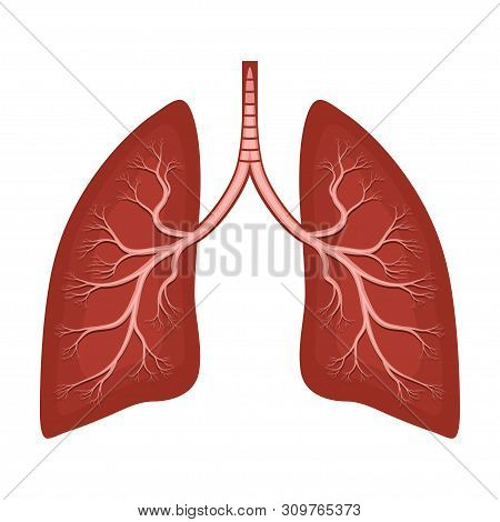 Human Lungs Anatomy Diagram. Illness Respiratory Cancer Graphics; Bronchial System. Organ Symbol. Ve