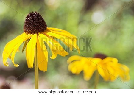 Yellow Coneflower Closeup