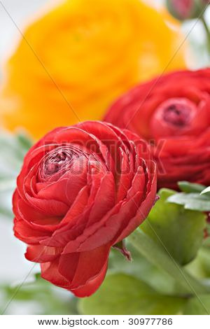 Colorful Ranunculus