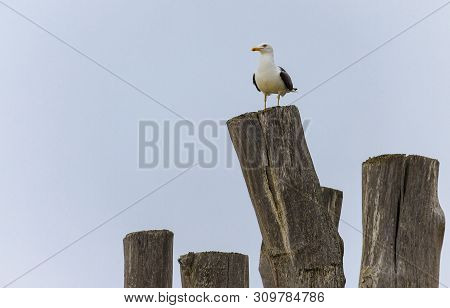 Lonely Seagull (laridae) On Top Of Stockade In A French Beach
