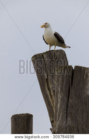 Lonely Seagull On Top Of Stockade In A French Beach