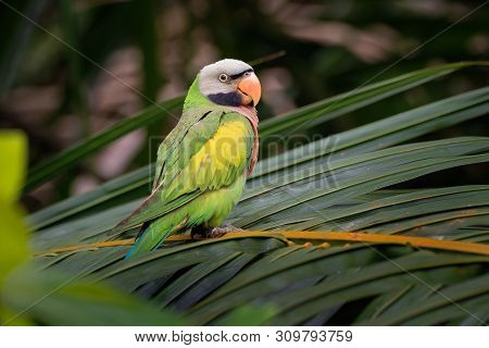 Red-breasted Parakeet - Psittacula Alexandri,  Alternative Name Is The Moustached Parakeet, Scientif
