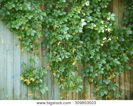 An Abandoned Building That Had A Long History Of Beautiful Hanging Vines On A Clapboard Fence That H