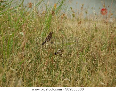 Two Brown Thrashers Hang Out In A Meadow Of Wildflowers. They Catch Insects For Food And Eat The Pra
