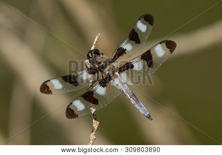 Twelve-spotted Skimmer (libellula Pulchella),dragonfly On The Natural Environment