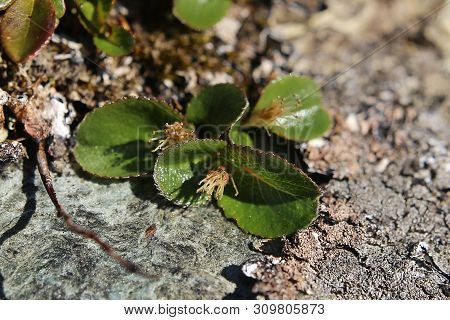Salix Herbacea, The Dwarf Willow, On Stone