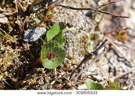 Salix Polaris, The Polar Willow, On Stone