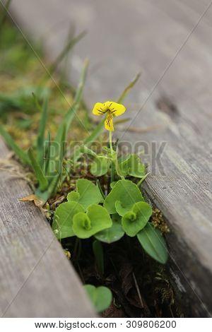 Flowering Viola Biflora, The Arctic Yellow Violet
