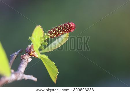 Female Blossom Of Betula Pubescens, The Downy Birch