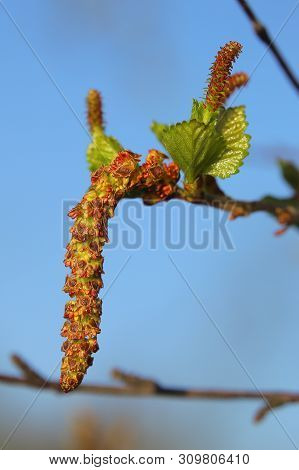 Male And Female Blossoms Of Betula Pubescens, The Downy Birch