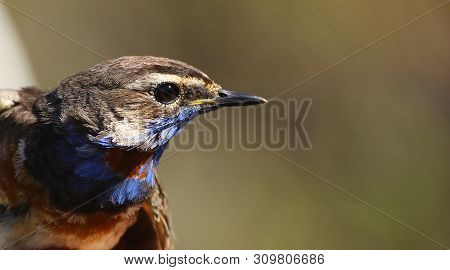 Portrait Of Luscinia Svecica, The Red-spotted Bluethroat