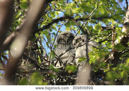 Two Northern Hawk-owls (surnia Ulula) Sitting In Nest