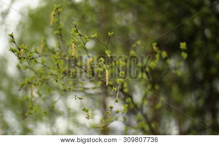 Leaves And Catkins Of Betula Pendula, The European White Birch
