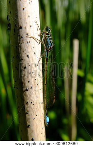 Blue Tailed Damselfly On A Dried Out Reed At The Edge Of A Nature Conservation Reservoir Lake In Spr