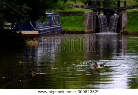 Canal Scene, Early July 2019, Aylesbury, England : Female Mallard Duck With Her Ducklings On A Canal