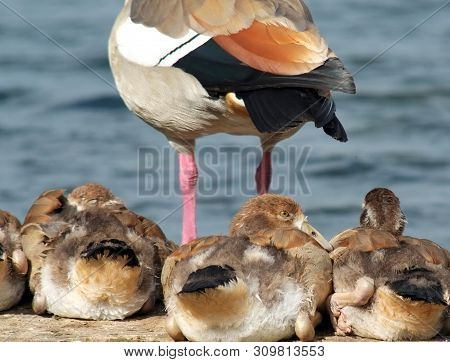 Egyptian Geese, Late June 2019, England : Egyptian Goose Goslings Resting Near Their Adult Mother Be