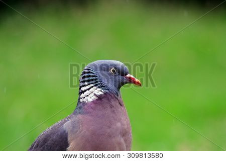 Pigeon Portrait Looking Right In England, Early Summer