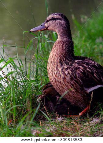 Mallard Duckling, July 2019, Aylesbury, England :  Last Surviving Mallard Duckling Resting Under Its