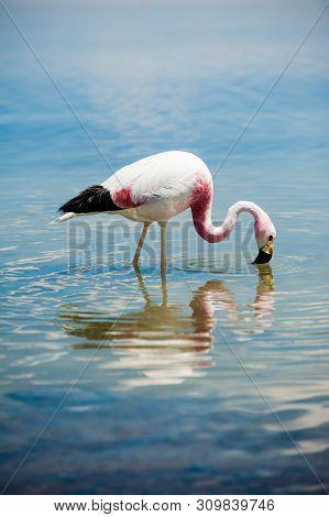Closeup Of An Andean Flamingo In Lake Chaxa Near San Pedro De Atacama, Chile. Andean Flamingo (phoen