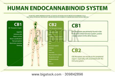 Human Cannabinoid System Horizontal Infographic, Healthcare And Medical Illustration About Cannabis