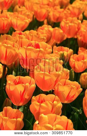 Beautiful Orange Tulips In The Spring Time.