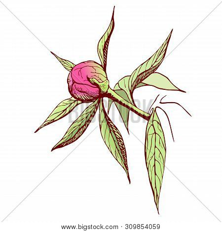 Vector Peony Bud. Engraved Pink Peony Flower In Vintage Style. Floral Branch Colored Sketch.highly D