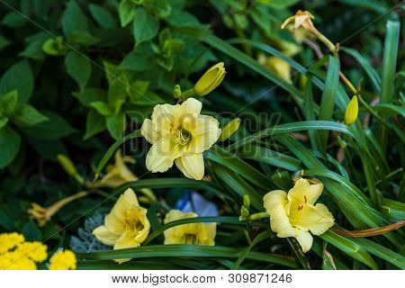 Several Pale Yellow Lilies Planted Outside Of An Uptown Store