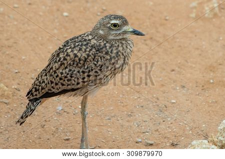 A Spotted Thick Knee (burhinus Capensis) Stands And Looks Around In The Desert Sand. Native To South