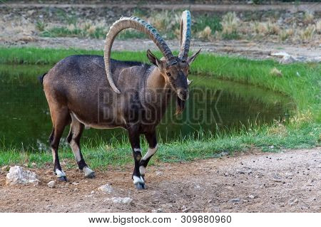 A Male Nubian Ibex Standing Next To A Green Area And Water Showing Off Those Large Curved Horns (cap