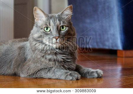Portrait Of A Gray Domestic Cat With Green Eyes Laying On The Floor At Home.