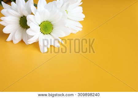 White Chrysanthemums On Yellow Background. Picturesque Flower Spray Chrysanthemum. Opened Chrysanthe