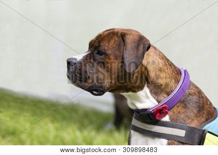 Handsome brindle boxer dog sat looking to the left poster