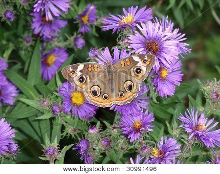 Buckeye бабочка на Нью-Йорк астр