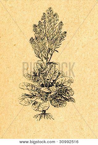 Brassica rapa - vilda Rova - gammal illustration av okänd konstnär från Botanika Szkolna na Klasy Nizs