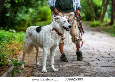 A dog pooch stands next to the mistress. White dog with black and brown spots. Green blurred background. Summer day. poster
