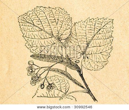 Blommande kvist av liden - gammal illustration av okänd konstnär från Botanika Szkolna na Klasy Nizsze, en