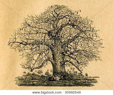 Baobab tree - gammal illustration av okänd konstnär från Botanika Szkolna na Klasy Nizsze, författare Joze