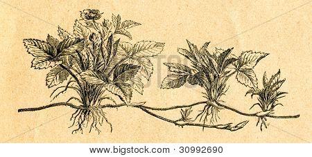 Smultron - gammal illustration av okänd konstnär från Botanika Szkolna na Klasy Nizsze, författare J