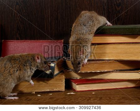 Close-up Two Rat (rattus Norvegicus) Climbs On Old Books On The Flooring In The Library. Concept Of