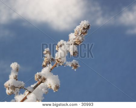Winter Snow Weed