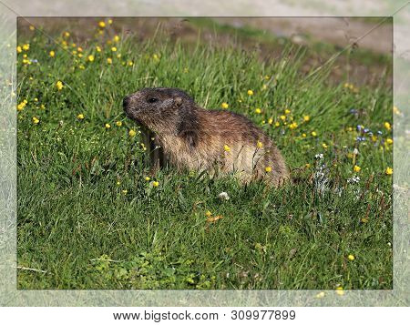 Mountain Marmot, Or Alpine Marmot (marmota Marmota) Is A Rodent Species It Lives Between 800 And 320